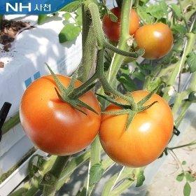 사천 GAP 토마토10kg(1~2번)